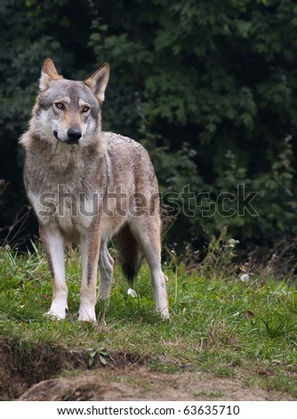 wolf serbia. The wolf (Canis lupus) is the largest species among the