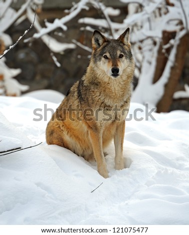 wolf sitting in the snow in winter