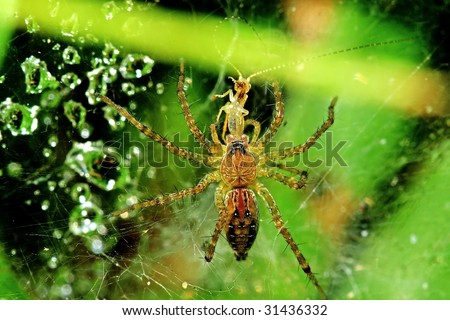 spider bite symptoms australia. spider bite symptoms australia