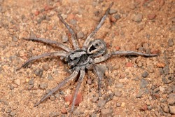 Wolf Spider hunting at night