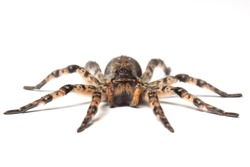 wolf spider isolated on white