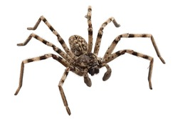 wolf spider lycosa sp in high definition with extreme focus and DOF (depth of field) isolated on white background