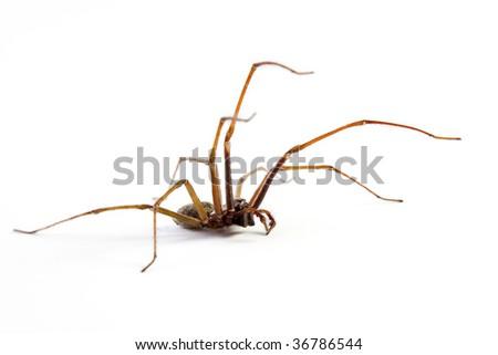 Wolf spider (Lycosidae) isolated on white background, macro