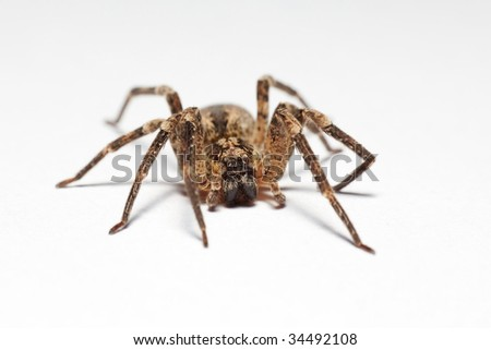 Wolf spider (Lycosidae) isolated on white background, macro, shallow DOF