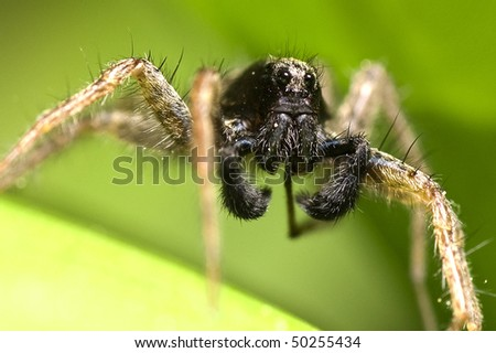 Wolf spider (Lycosidae) on a leaf, macro