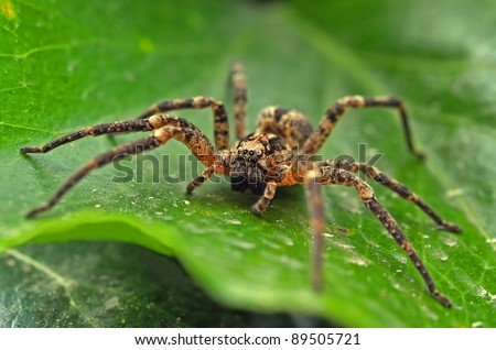 wolf spider on leaf #89505721