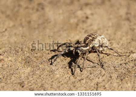 Wolf spider/South Russian Tarantula/Lycosa singoriensis/Tarantula spider close up on the ground. Dangerous creepy tarantula Lycosa singoriensis in sunlight.