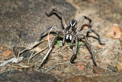 Wolf Spider - Tasmanicosa tasmanica australian spider family Lycosidae, robust and agile hunters with excellent eyesight, live mostly in solitude and hunt alone, do not spin webs.
