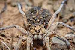 Wolf spider with baby spiders on his back. Lycosa fasciiventris. European Tarantula.