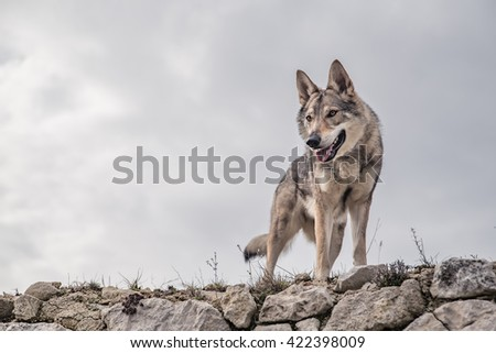 Wolf standing on a ruin with cloudy background