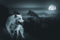 Wolf the King of Wilderness. White Alpha Wolf During Full Moon Night Looking For a Prey in the Wilderness.