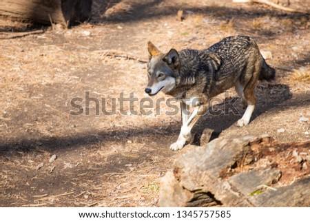 Wolf walking around by itself #1345757585
