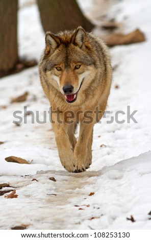 Wolf walks in the snow - stock photo