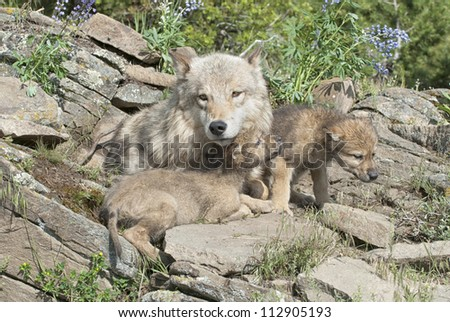 Wolf with her young cubs