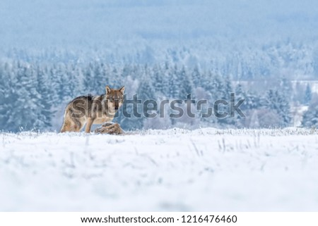wolf with prey, wolf in snow with prey, attractive winter landscape with wolf