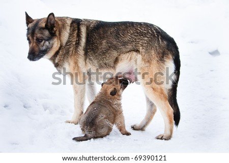 wolfhound puppy and his mother