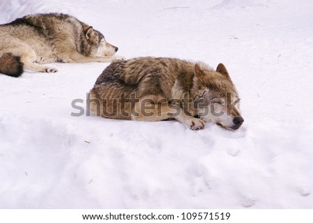 wolfs in winter time