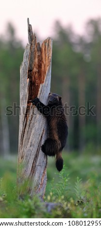 Wolverine climbing on the tree