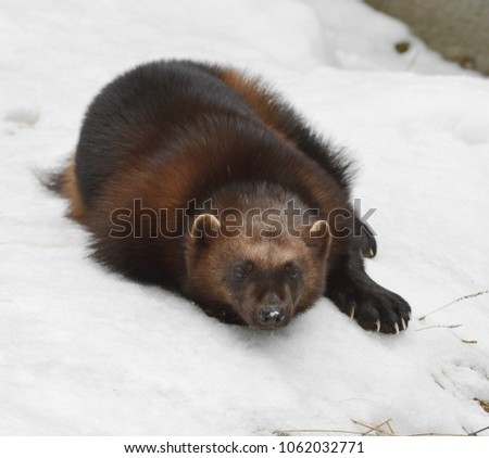 """Wolverine, Gulo gulo (Gulo is Latin for """"glutton""""), also referred to as glutton, carcajou, skunk bear, or quickhatch, lies on snow (focus on muzzle)"""