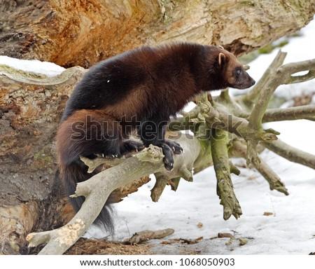 "Wolverine, Gulo gulo (Gulo is Latin for ""glutton""), also referred to as glutton, carcajou, skunk bear, or quickhatch, on log"