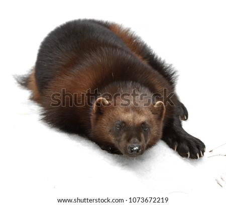 "Wolverine, Gulo gulo (Gulo is Latin for ""glutton""), also referred to as glutton, carcajou, skunk bear, or quickhatch, lies on white snow"