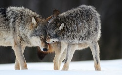 Wolves expressing emotions and howling in the wild winter forest with snow