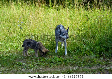 Wolves in nature. Wild animals among the countryside. Wolves seek food, livelihood. Hunger and cold for animals in the forest. Wild dog with puppy for.