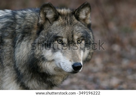 Wolves of Lakota Wolf Preserve Series #349196222