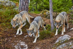wolves, Wolf pack attacks, on the hunt