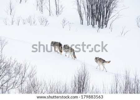 Wolves, wolf pack, in norwegian winter forest. Snowing.