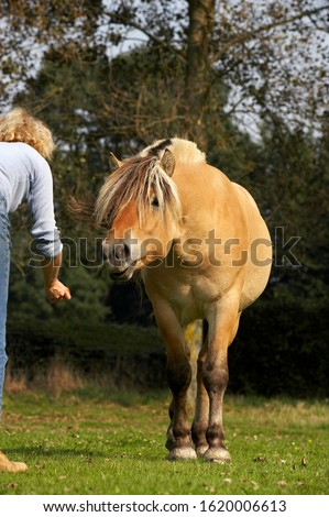 Woman and Norwegian Fjord Horse