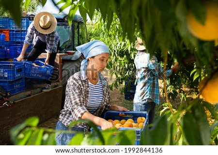 Woman carries boxes of ripe peaches on tractor platform. Harvesting ripe peaches in the orchard