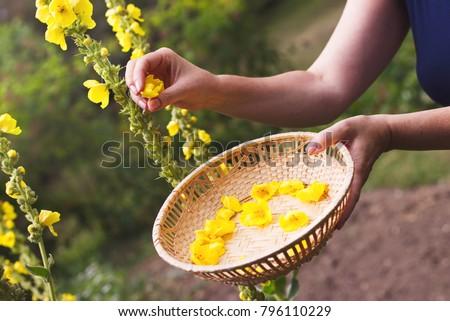 Woman collect mullein flowers to a wicker basket. Yellow verbascum in the garden. Flowering mullein in summer.