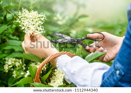 Woman collecting herbs or blossom in back light. Hands cutting elder flowers by rustic scissors. #1112944340