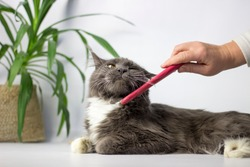 woman combing main-coon cat on white background. Wooman's hand with a comb. Grooming and pet care concept