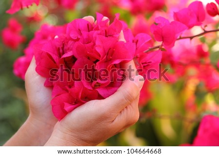 Woman cradling recently bloomed intensely bright red Bougainvillea flowers (selective focus).