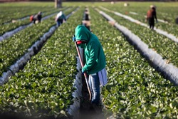 Woman farm worker in green sweatshirt in strawberry field with shovel and other farms workers and rows of strawberry plants in background