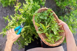 Woman farmer gardener cuts basil with pruner, leaves in basket, harvest of green herbs, natural organic spices