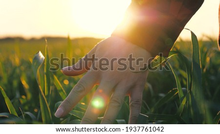 Woman farmer walks through a wheat field at sunset, touching green ears of wheat with his hands. Agriculture concept. A field of ripening wheat in warm sun. Young business woman inspects her field.