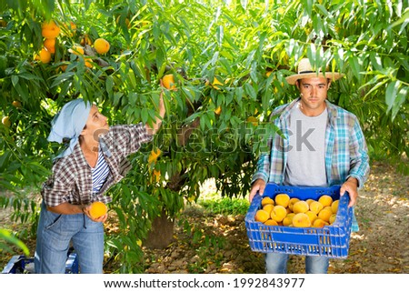 Woman farmer with male partner harvesting ripe peaches in fruit garden, putting in plastic boxes