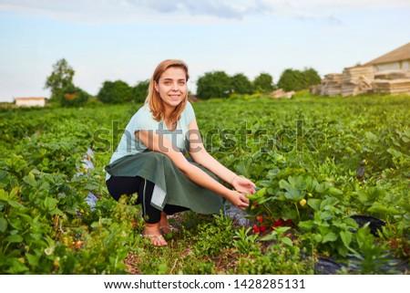 Woman farmer working in a strawberry field. Worker picks strawberries