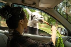 woman feeds Llama through the car window while in the safari park