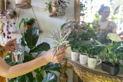 Woman florist spraying air plant tillandsia at garden home or greenhouse, taking care of Epiphytes houseplants. Indoor gardening.