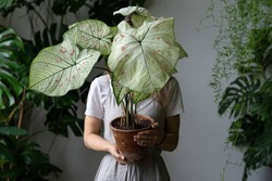 Woman gardener in a linen dress holding and hiding behind caladium houseplant with large white leaves and green veins in clay pot. Love for plants. Indoor gardening