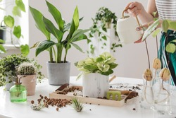 Woman gardeners  watering plant in marble ceramic pots on the white wooden table. Concept of home garden. Spring time. Stylish interior with a lot of plants. Taking care of home plants. Template.