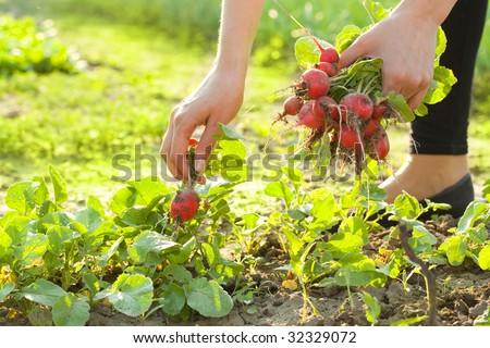 woman gardening; picking radishes - stock photo
