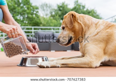 woman gives her labrador the dog food in a feeding bowl Stock photo ©