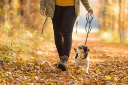 Woman goes with a dog walking in the autumn - jack russell terrier