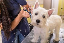 Woman groomer working in salon, making haircut at pet salon.