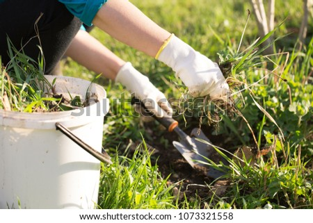 Woman hand clearing, pulling out some weed form her garden, using garden equipment #1073321558